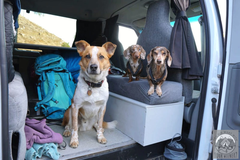 3 Dogs sitting in the back of a camper van, packed to go travelling.