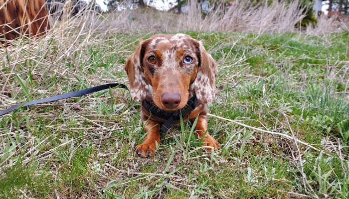 How many times a week should you walk your Dachshund?