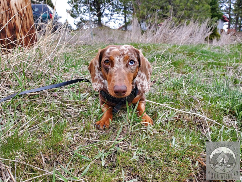 Dachshund laying the grass looking at the camera