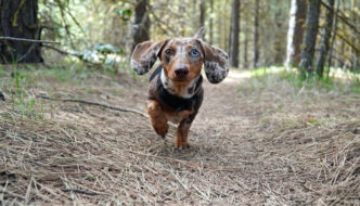 Dachshund running in the woods - is this safe?