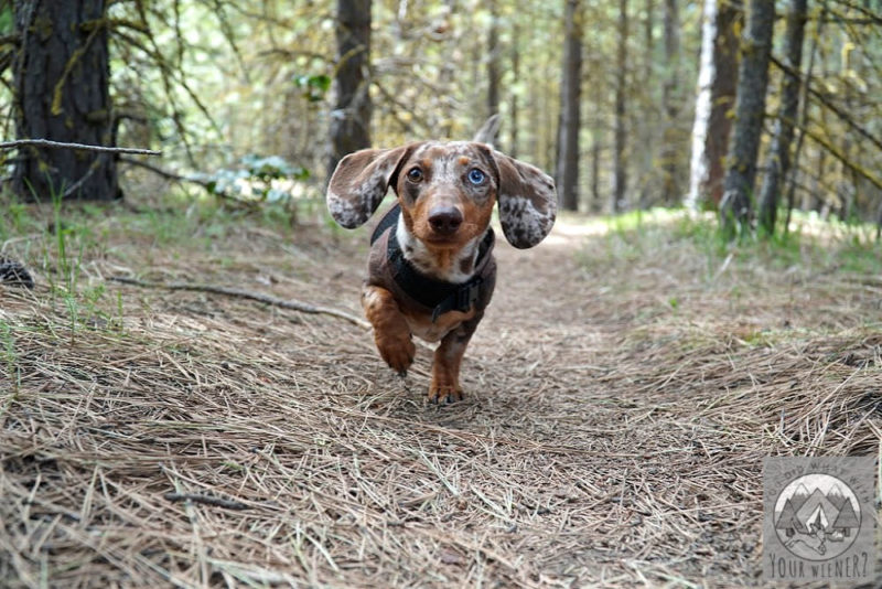 Dachshund running in the woods. Is it bad for a Dachshund to run?