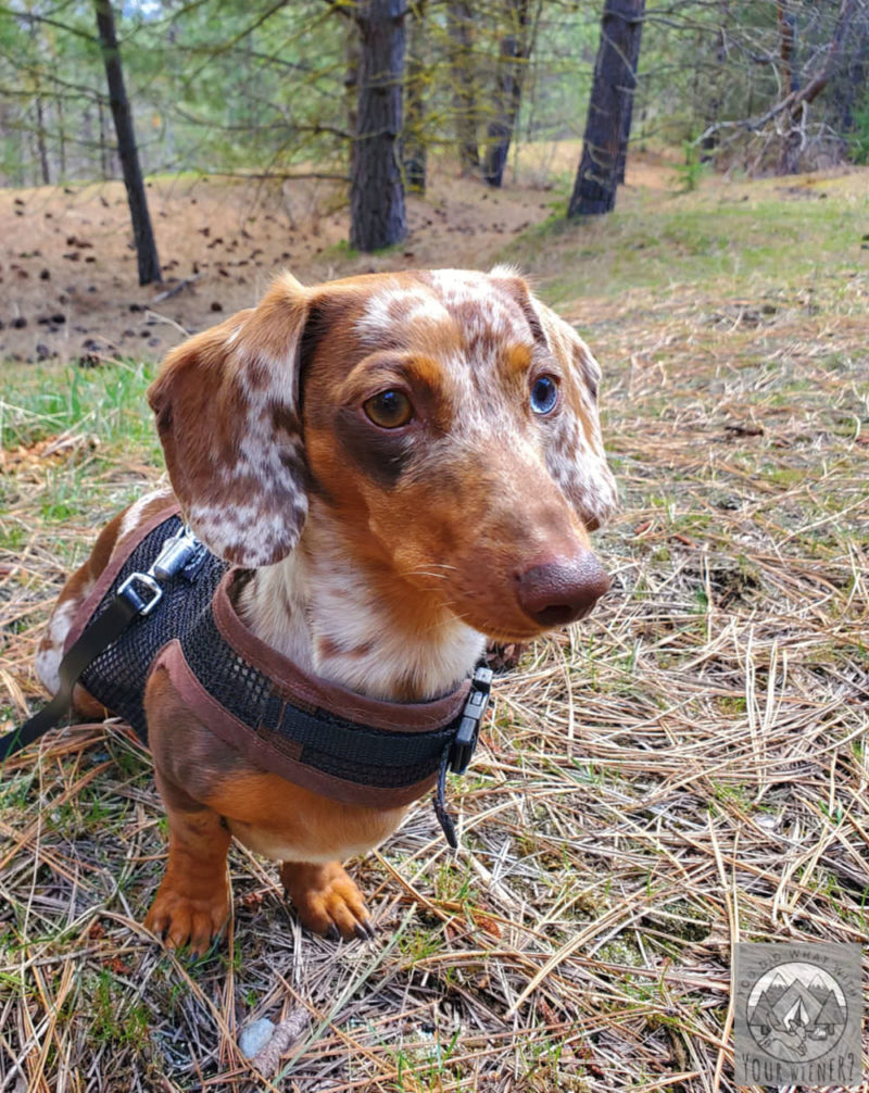 Dachshund sitting in the woods looking off into the distance