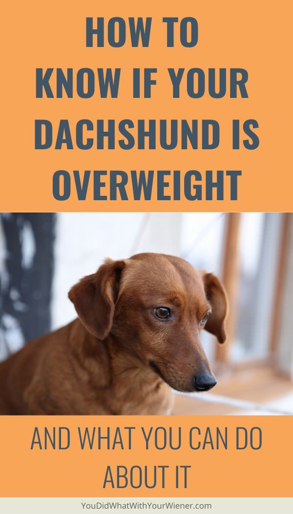 What Should My Dachshund Weigh?