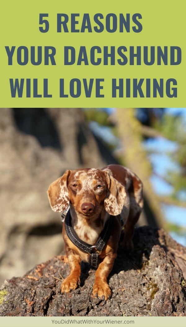 5 reasons  your dachshund will love hiking