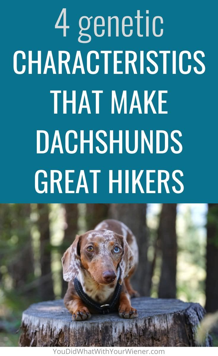 4 reasons a Dachshund's genetic traits and characteristics makes them great hiking dogs