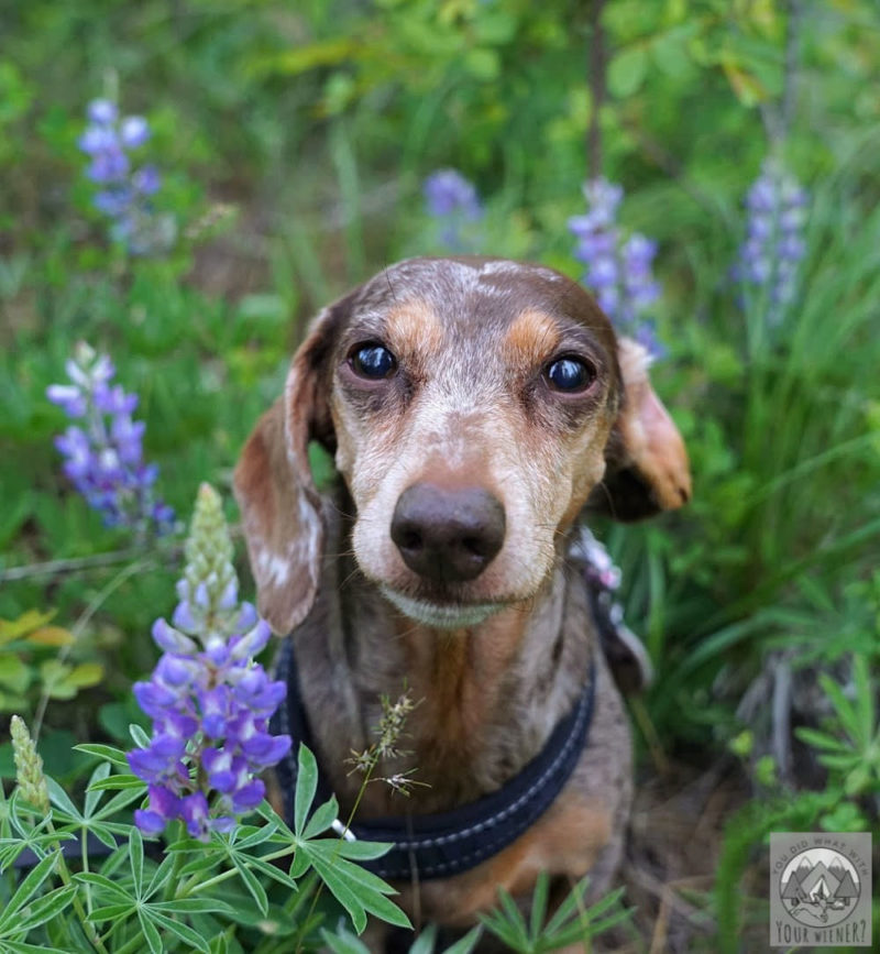 Dachshund sitting in a field of purple lupine flowers