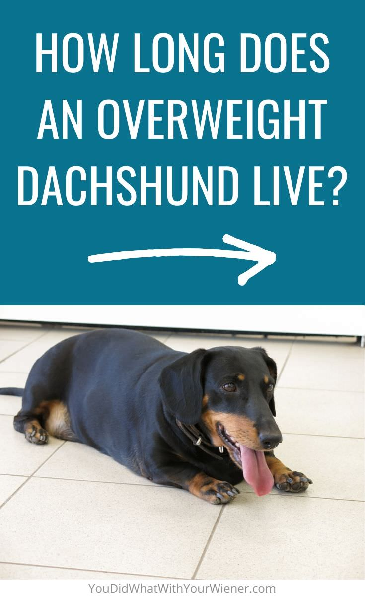 What is the life expectancy of an overweight Dachshund?