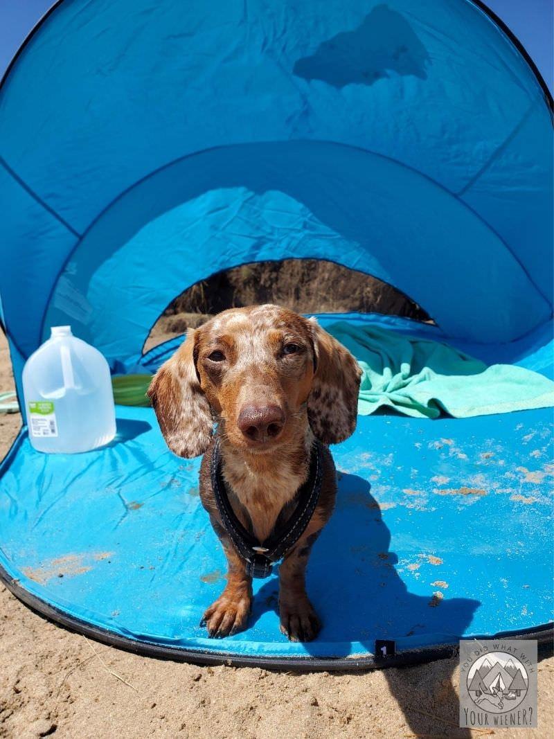 Dachshund Standing Near a Shade Tent