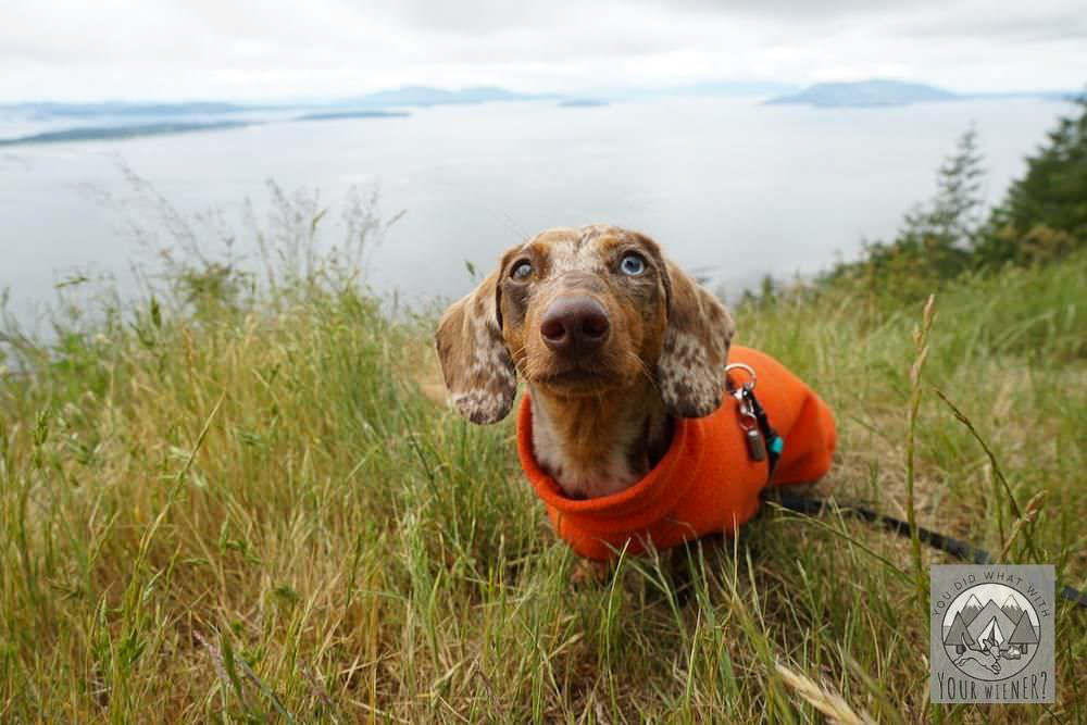 Dachshund in an orange fleece jacket