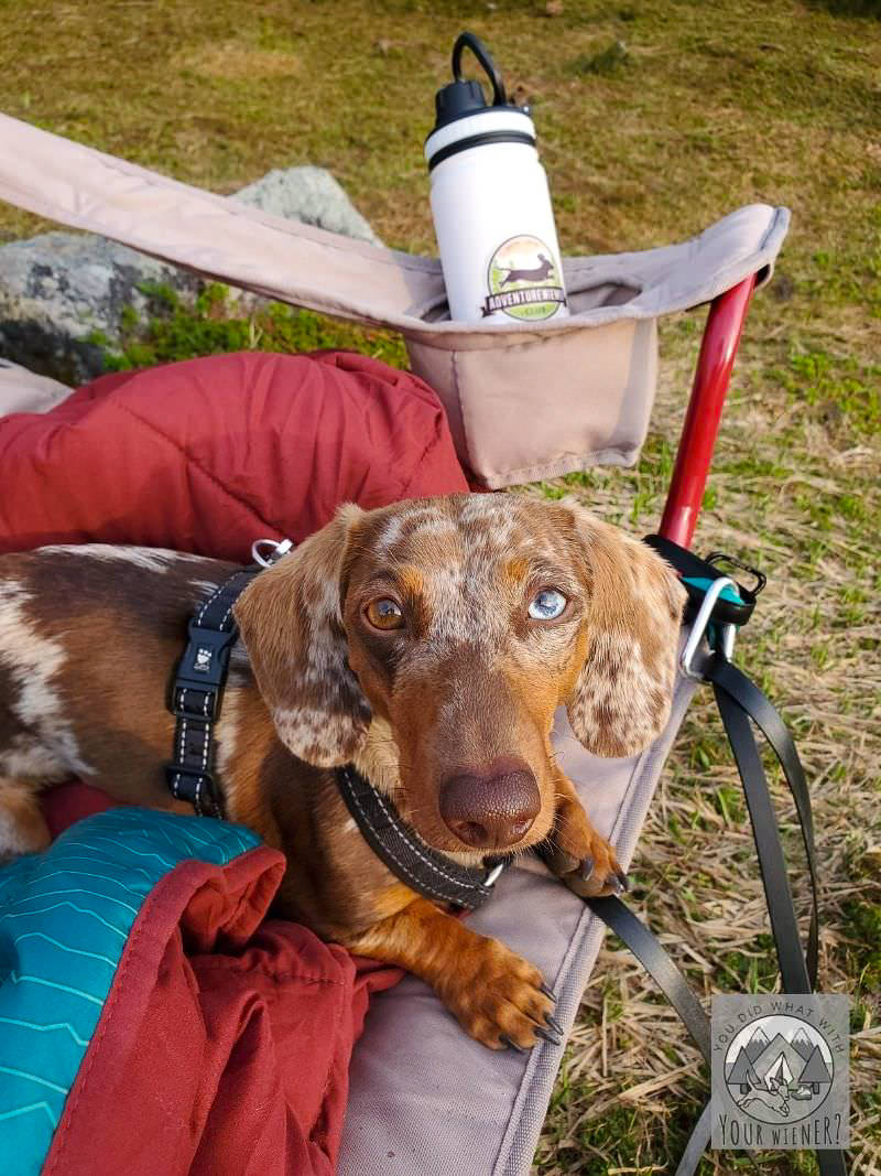 Dachshund laying quietly in a camp chair