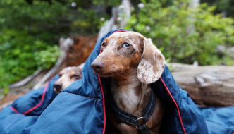 Daschund camping featured