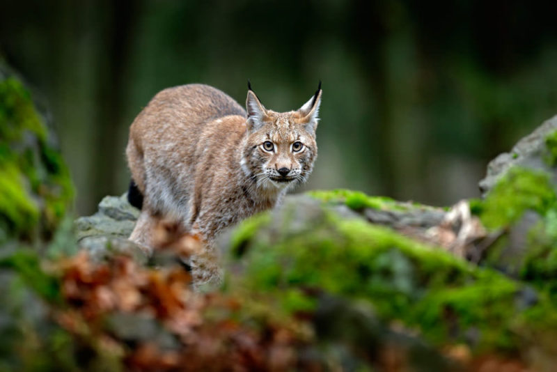 Lynx in the moss
