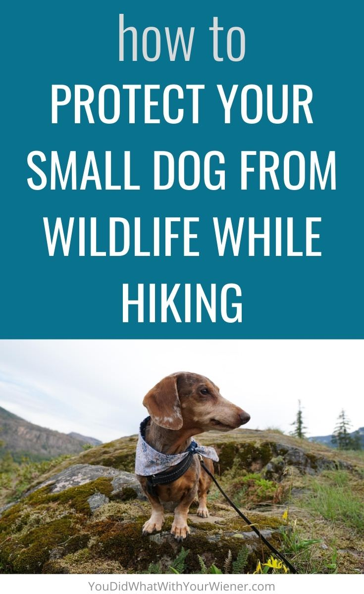 Are you hiking with your dog? Here's what to know to protect your small dog from wildlife while hiking.