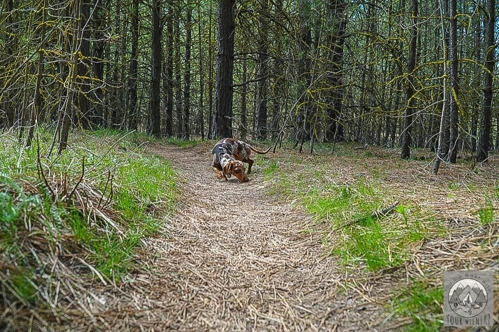Small Dog Off Leash Ignoring Owner