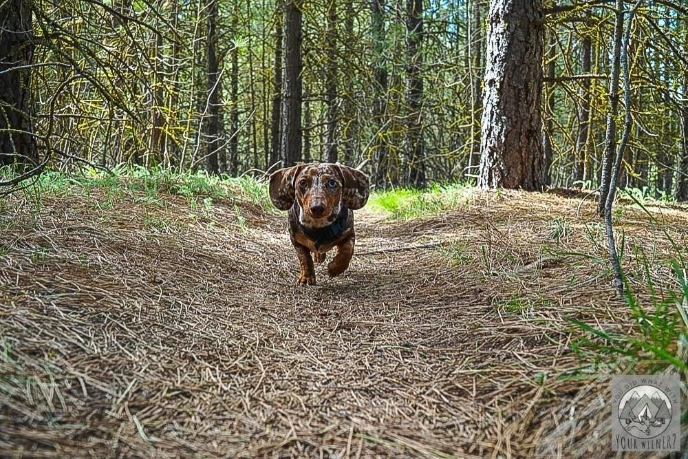 Small dog Running on a Trail Without a Leash
