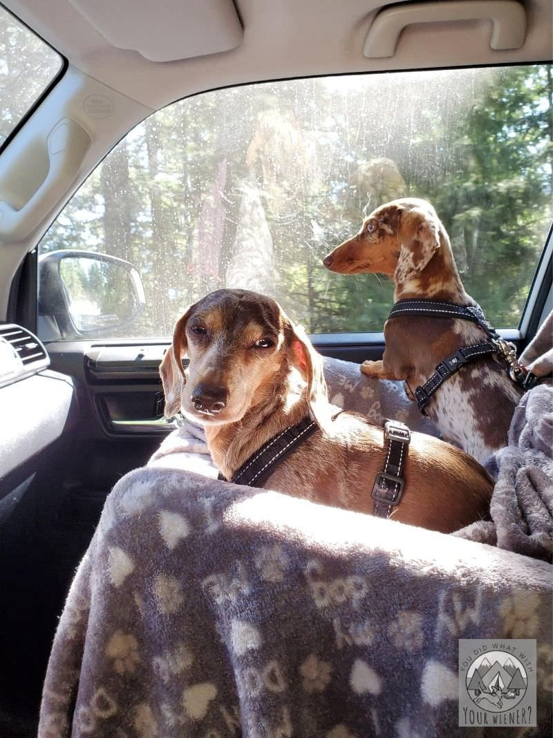 Two Dachshunds Waiting Inside a Sunny Car