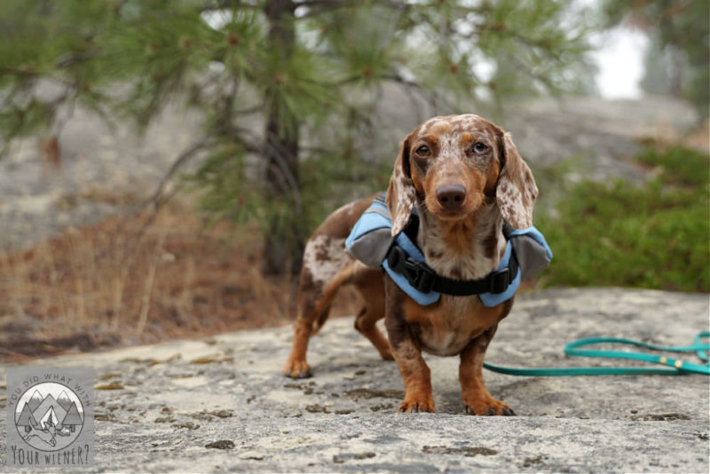 Dachshund standing on a rock with a small dog backpack on