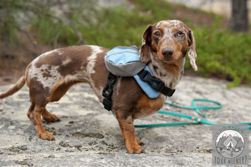Side view of a Dachshund wearing the Doggles Extreme dog backpack