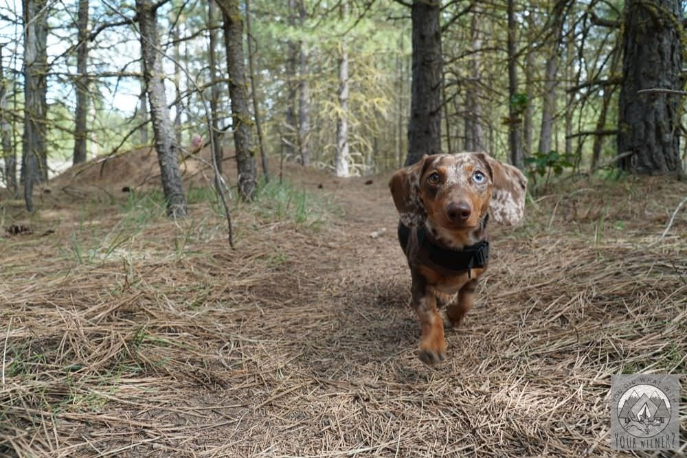 Dachshund Off Leash in the Woods