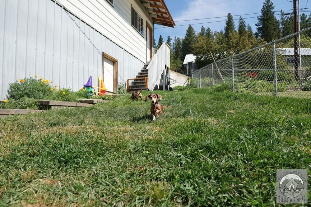 Dachshund Running Through Front Yard Grass