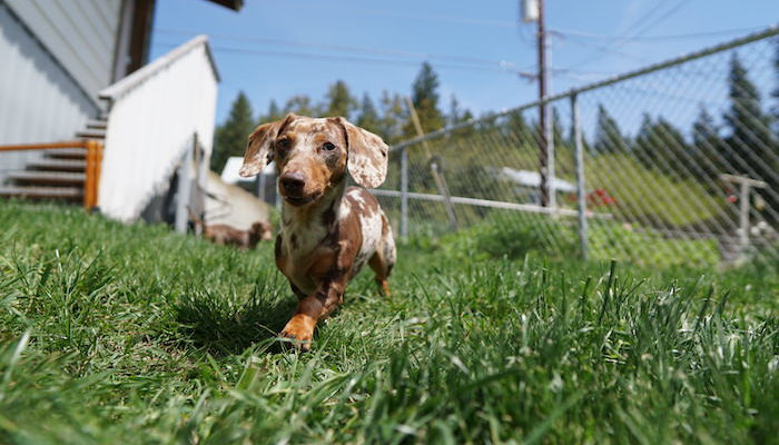 Dachshund Running Through Grass featured