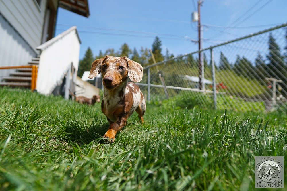 Dachshund Running Through Grass