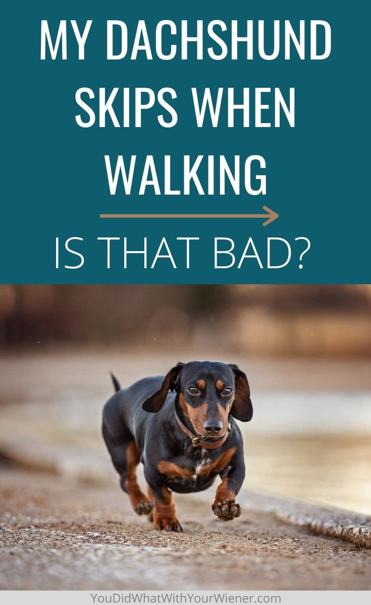 Does your Dachshund skip when running or walking? Find out if it's something to worry about.