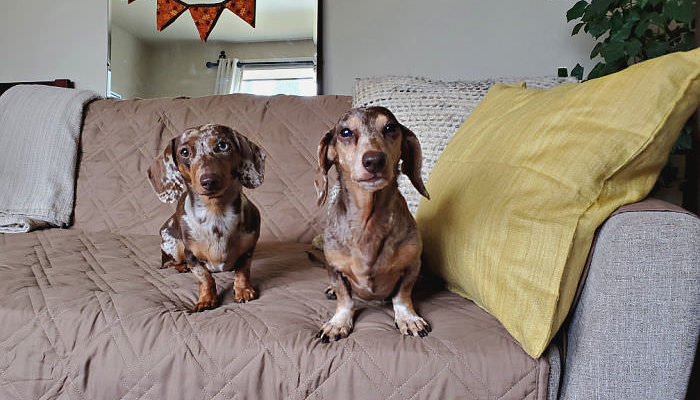 Two miniature Dachshund sitting on a couch