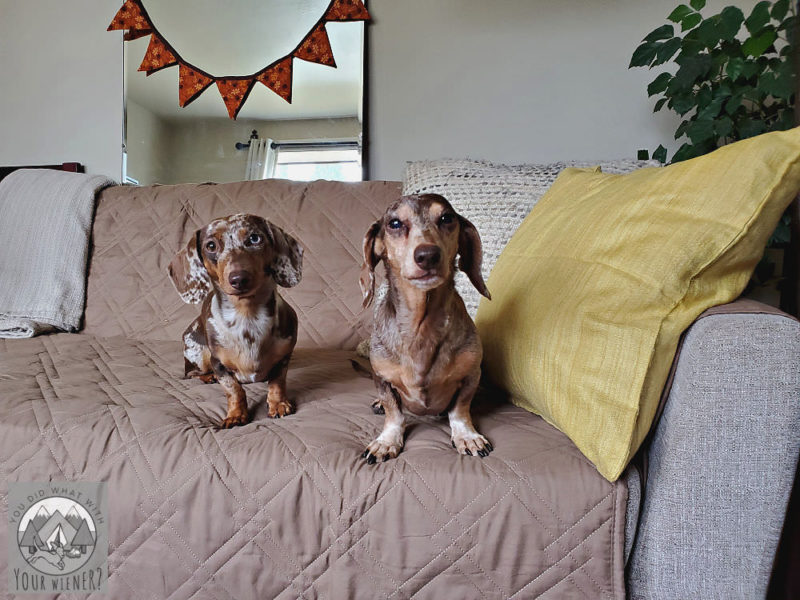 Two dapple Dachshund sitting on a couch looking at the camera