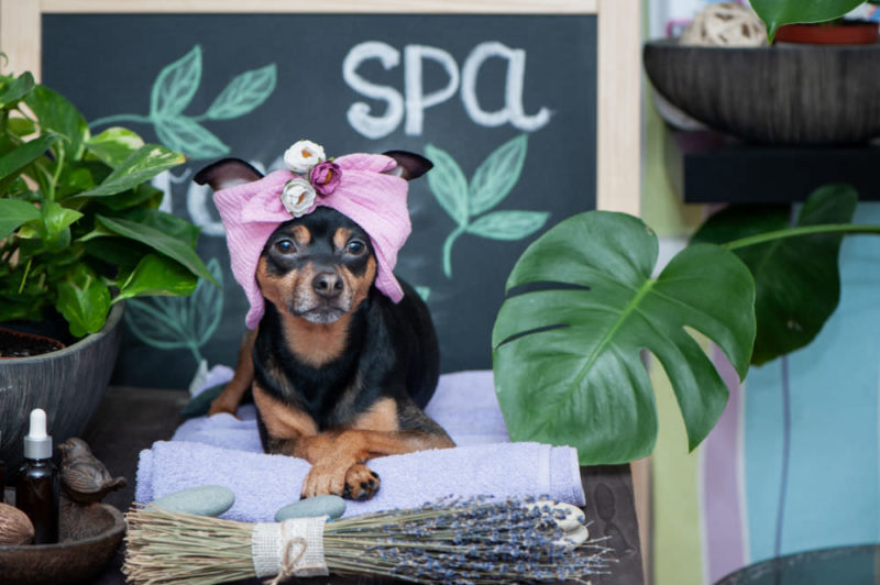 small dog laying on a towel in front of a sign that says spa