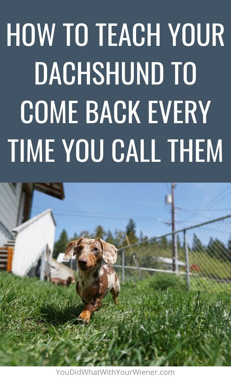 Does your Dachshund run away when they're off leash? Here is how to get them to come back every time you call them.