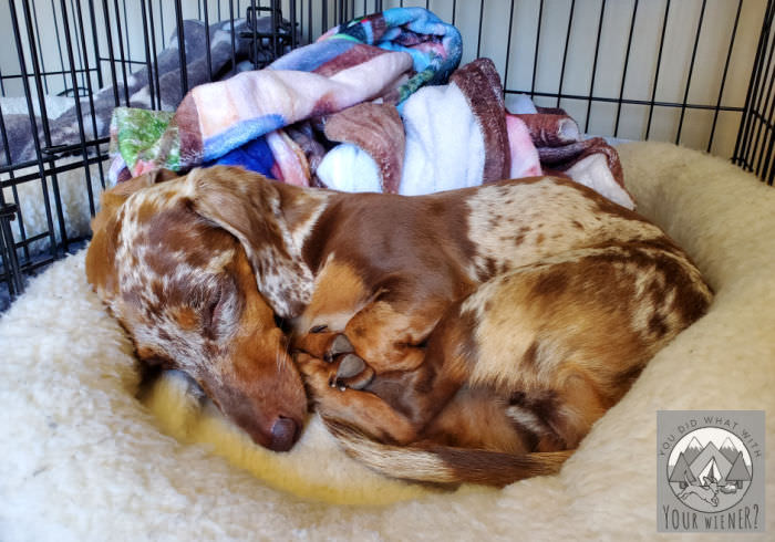 Dachshund sleeping in a dog crate during the crate rest period after spinal surgery