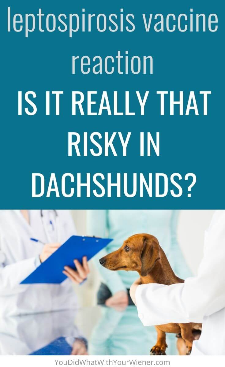Have you heard about the leptospirosis vaccine reaction in Dachshunds? Find out if it's as risky as you think.