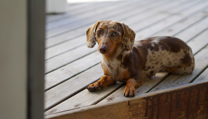 Small Dog Dachshund featured