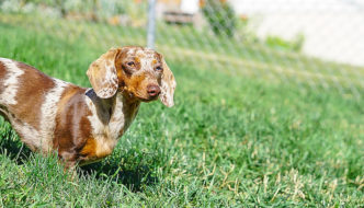 Dachshund in fence