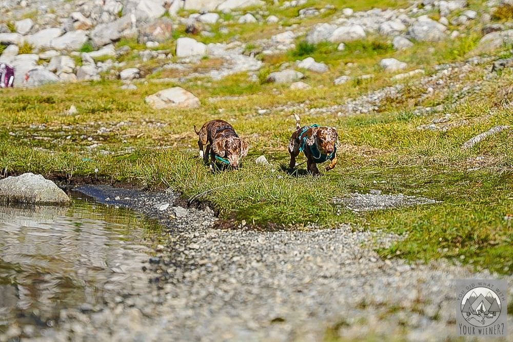 Dachshunds running together