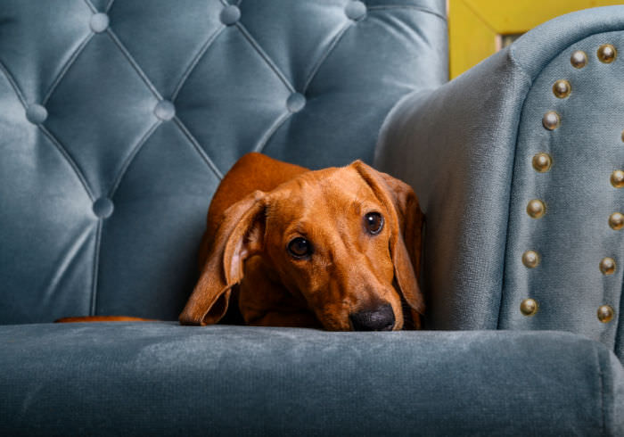 Red miniature Dachshund laying on a chair looking guilty
