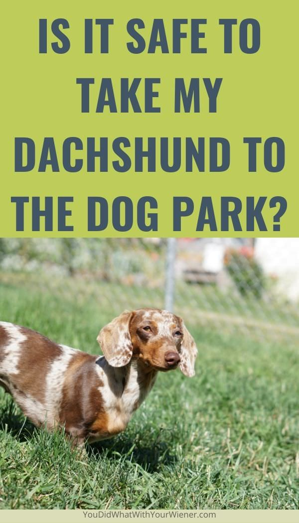 Do you wonder if it's safe to take your Dachshund to the dog park? Here are some important facts to know first.