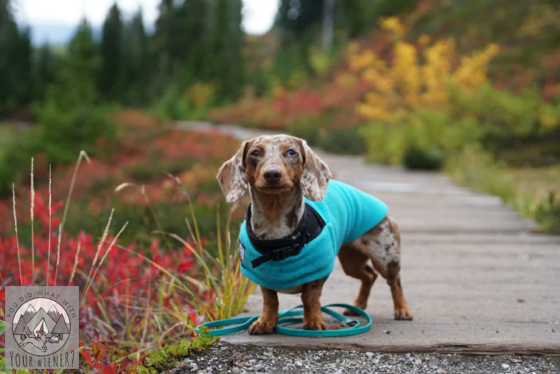 Miniature Dachshund in a Tummy Warmer dog jacket from Voyagers K9 Apparel