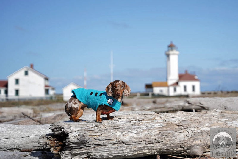 Dachshund standing on the beach with the Fort Worden lighthouse in the background