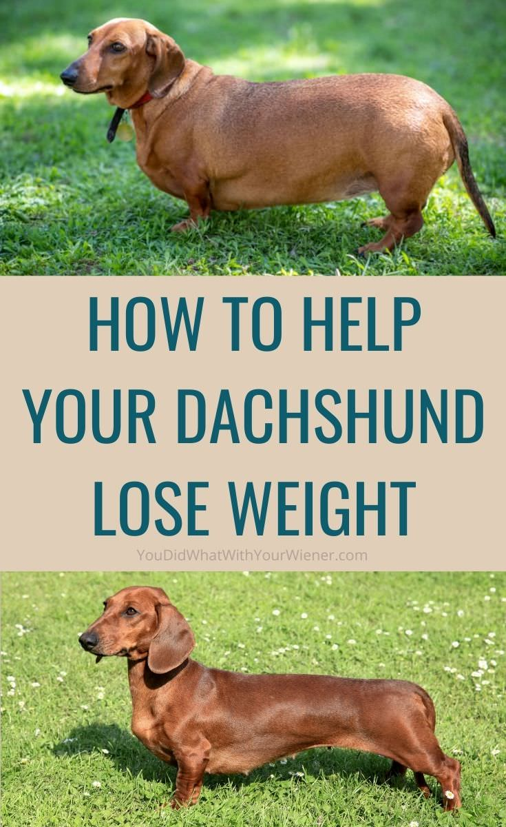 Improve Your Pet's Health: How to Help Your Overweight Dachshund Lose Weight (and What to Feed Them)