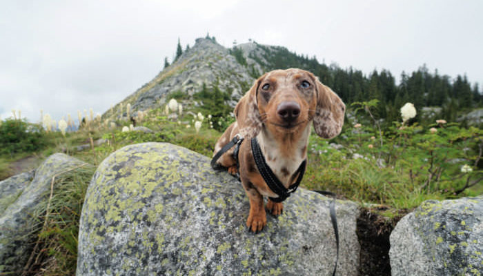 Hiking Dachshund standing on a rock with a smirk on her face