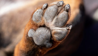 dog paw pads shown tough and durable