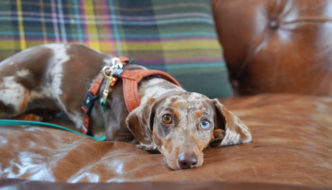 Brown Dachshund laying on brown leather couch
