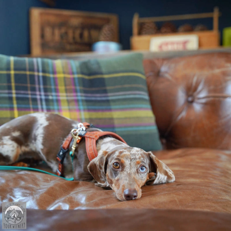 Miniature Dachshund relaxing on a couch in a hotel lobby