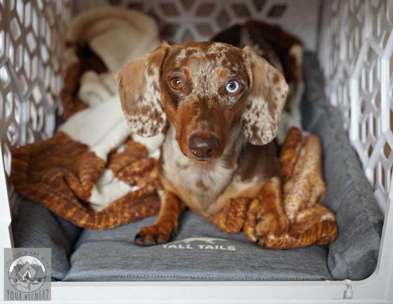 Dachshund laying in white plastic dog crate laying on a Tall Tails crate pad