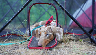 Dachshund laying in the door of a dog playpen