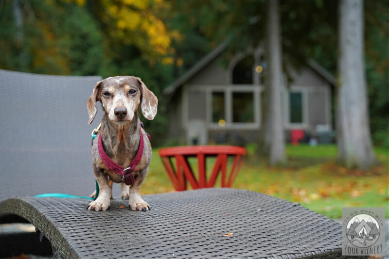 Miniature Dachshund on a lounge chair in front of a cabin